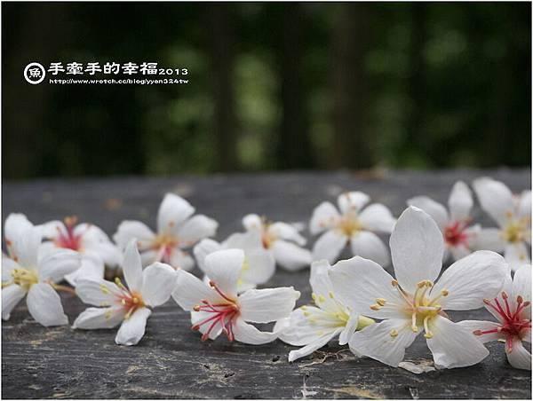 三芝桐花130502029