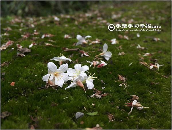 三芝桐花130502031