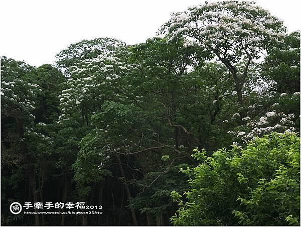 三芝桐花130502032