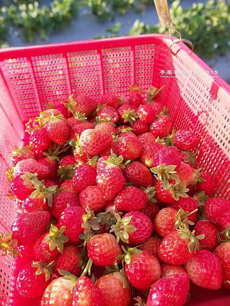 春香草莓園150201007