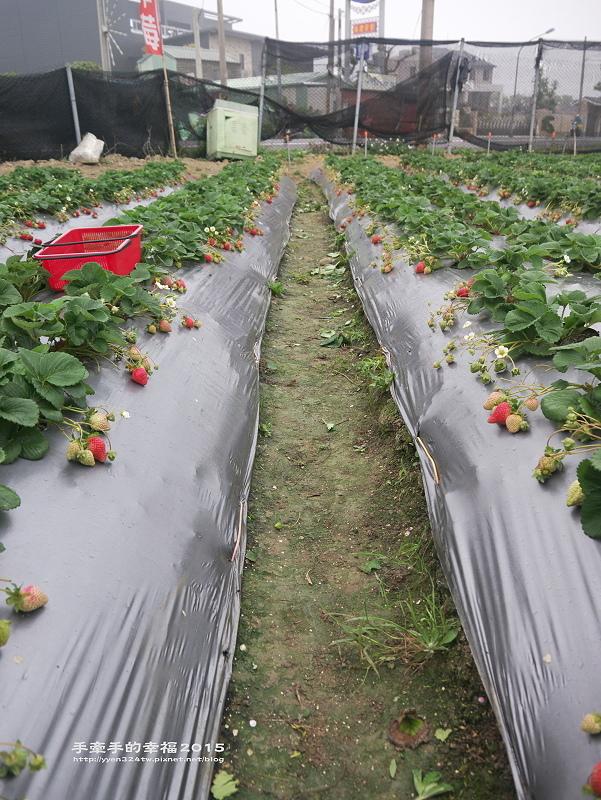 無名草莓園150223006