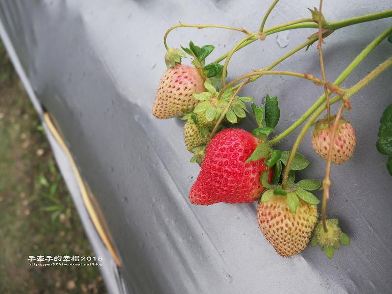 無名草莓園150223007
