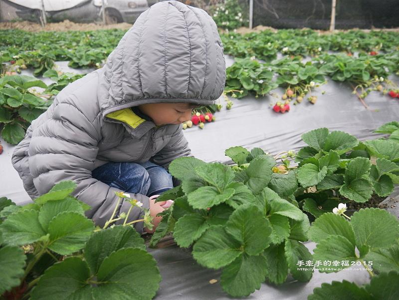 無名草莓園150223008