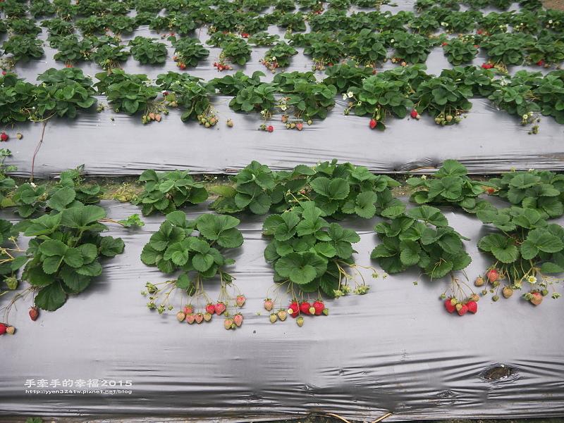 無名草莓園150223009