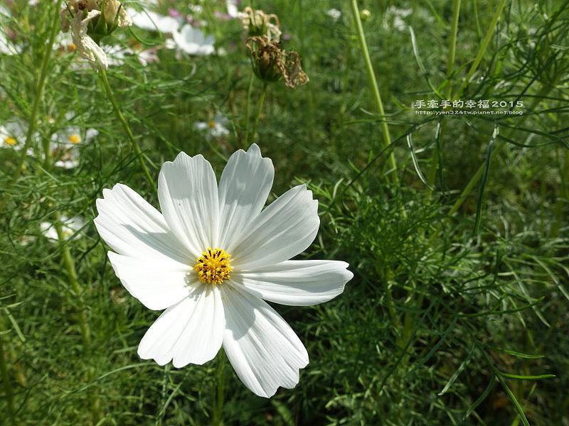 蘆竹花海151122014
