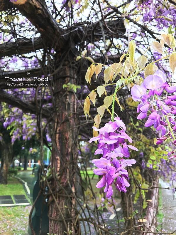 大湖公園紫藤花170411004