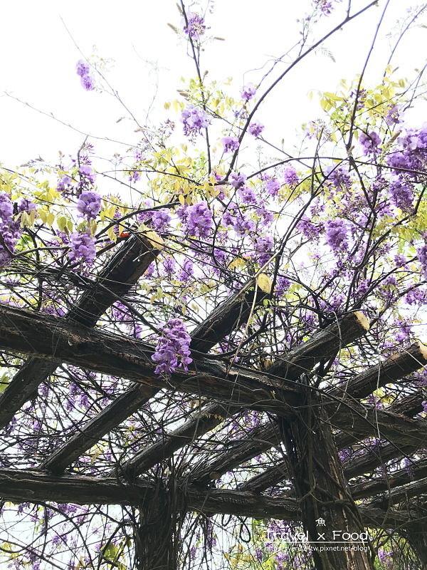 大湖公園紫藤花170411009