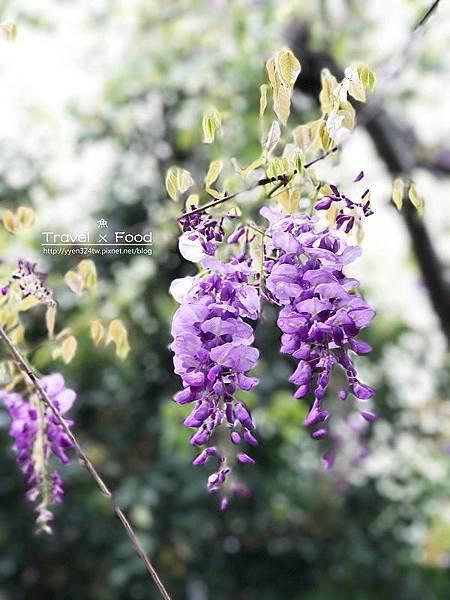 大湖公園紫藤花170411011