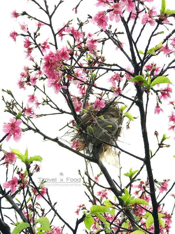 大湖公園紫藤花170411020