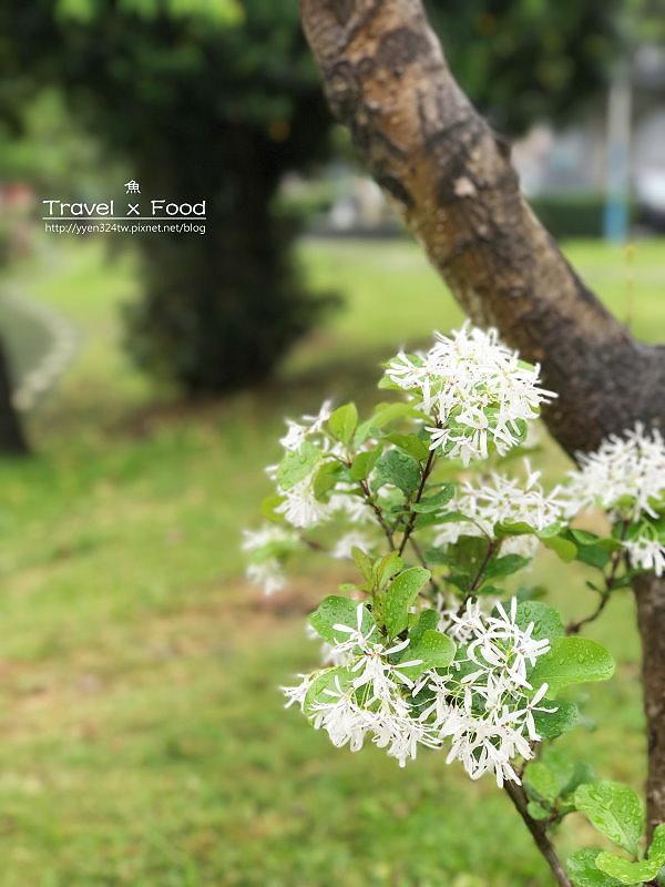 大湖公園紫藤花170411021
