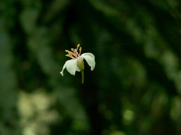 空中的油桐花