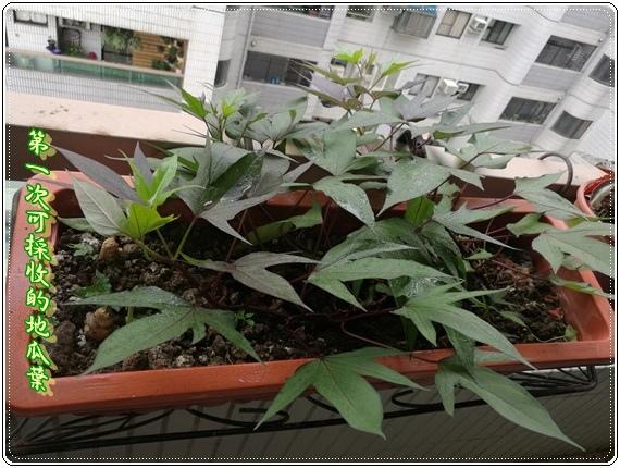 2016-05-21 08.41.33--可採收的地瓜葉++4