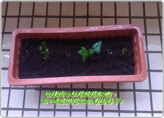 2015-11-26 08.23.55--剛種的地瓜葉1