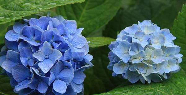 鎌倉紫陽花 (1)
