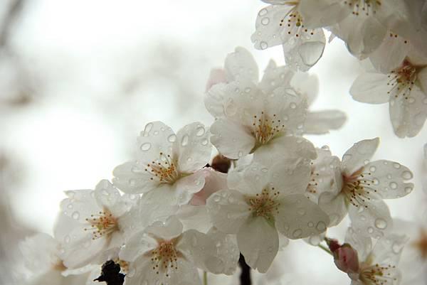 sakura (10)