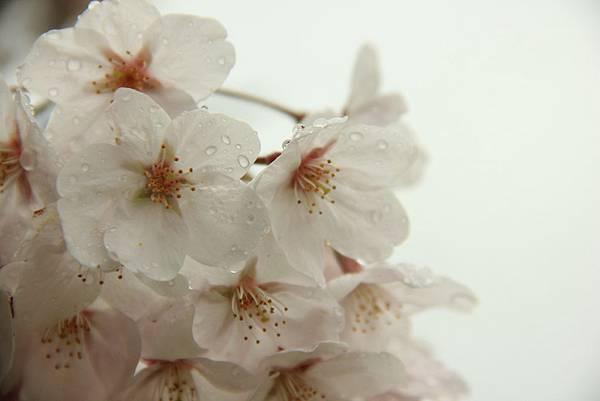 sakura (11)
