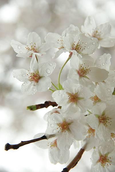 sakura (9)