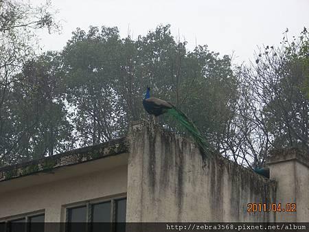 屋上的孔雀