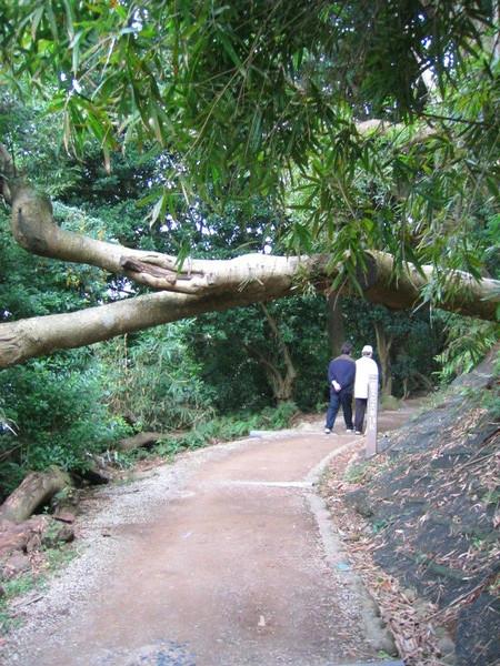 橫在路上的樹