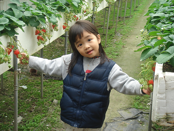 採草莓(3.6ys)