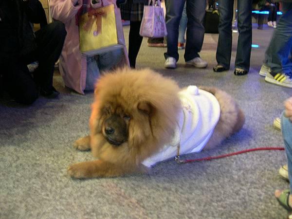 像獅子的狗狗