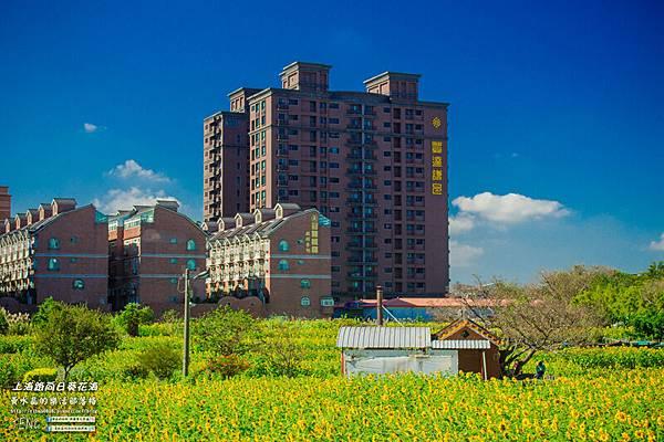 上海路向日葵002.jpg