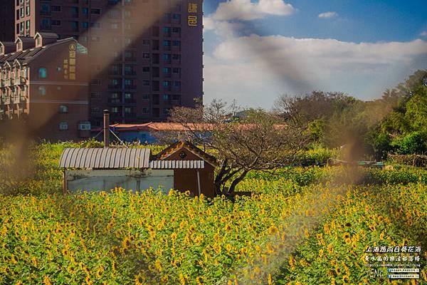 上海路向日葵004.jpg