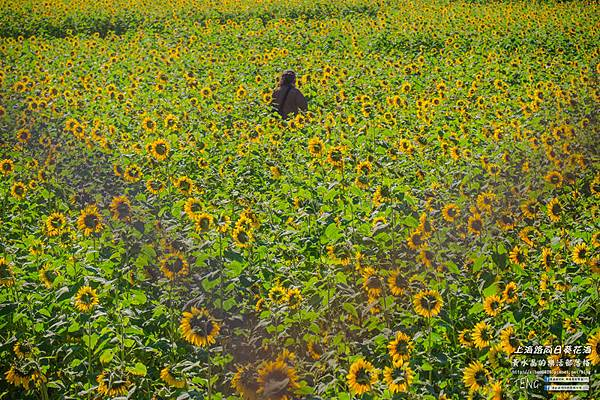 上海路向日葵005.jpg