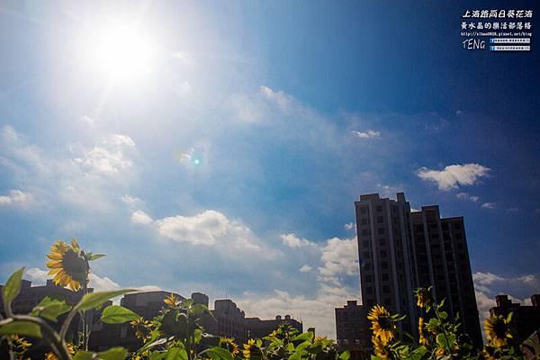 上海路向日葵013.jpg