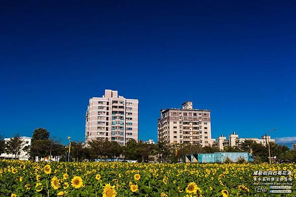建新街向日葵003.jpg