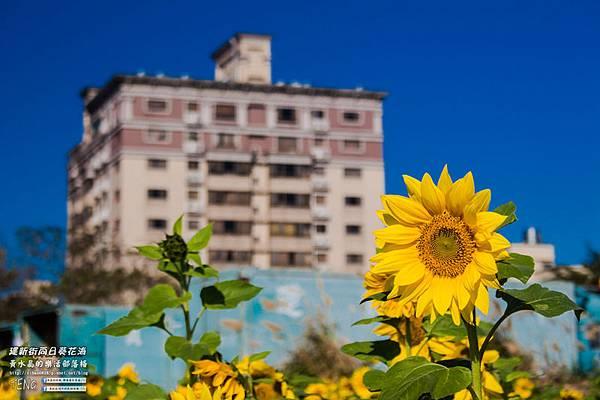 建新街向日葵009.jpg