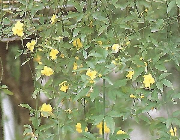 黃馨.jpg