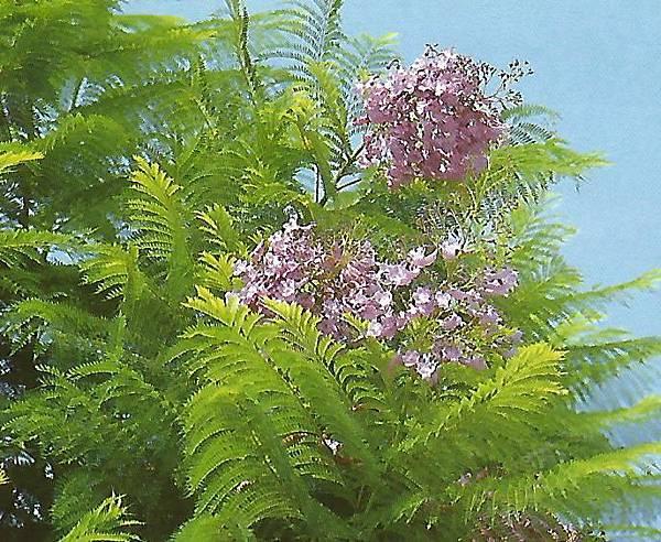 非洲紫葳.jpg