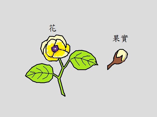 黃槿.jpg