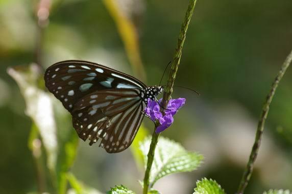琉球青斑蝶