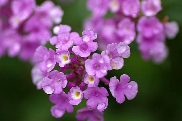 紫花馬櫻丹