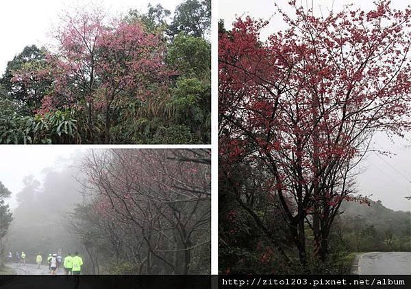『2012第四屆雙溪櫻花馬拉松,朦朧的櫻花好硬的山路!』 (4)