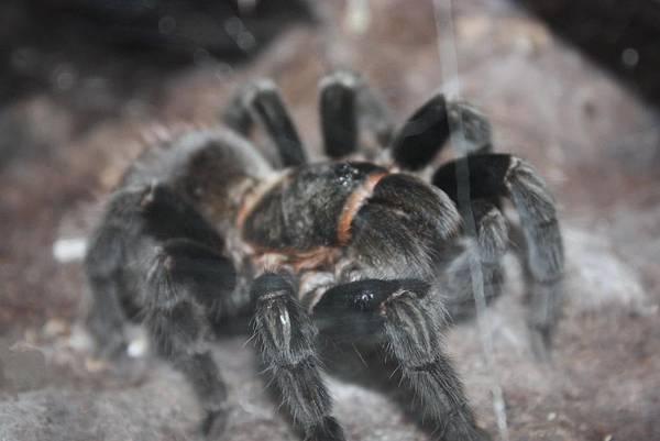 台灣昆蟲館 瓜地馬拉紅尾蜘蛛