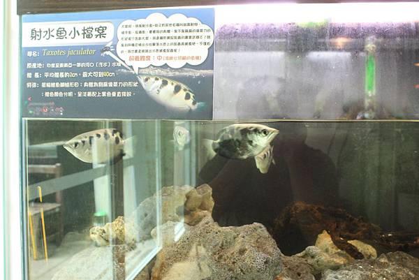 台灣昆蟲館 射水魚