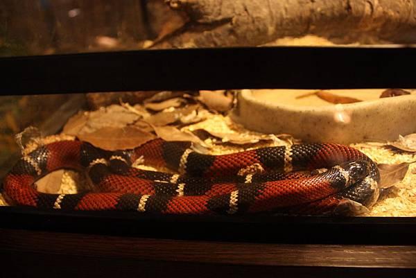 台灣昆蟲館 納爾遜奶蛇