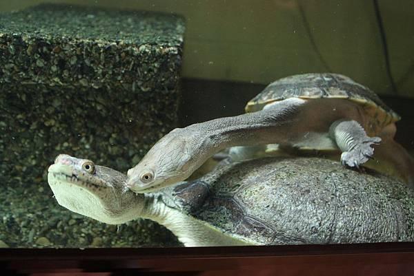 台灣昆蟲館 蛇頸龜
