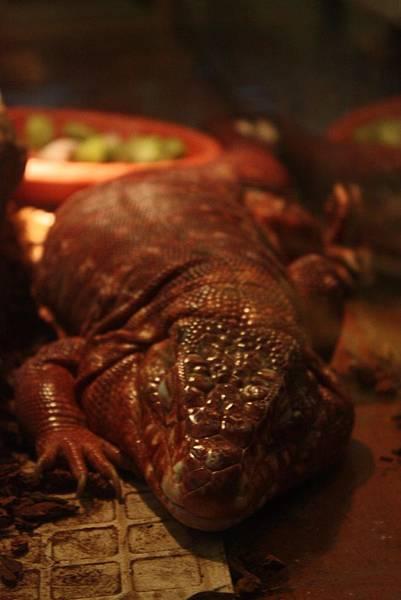 台灣昆蟲館 睡覺大蜥蜴