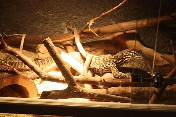 台灣昆蟲館 蜥蜴展示