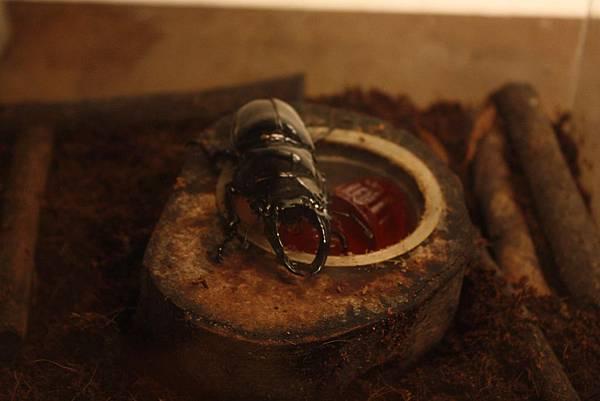 台灣昆蟲館 鍬型蟲