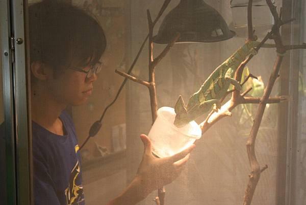 台灣昆蟲館 變色龍餵食