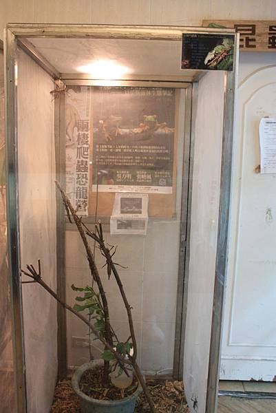 台灣昆蟲館 小扁竹節蟲