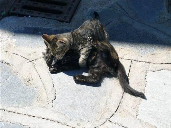 打架中的貓咪
