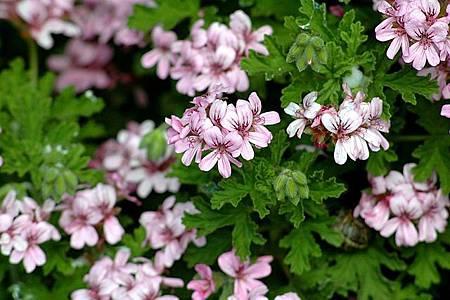 rose_geranium.jpg