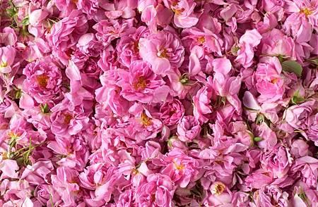 大馬士革玫瑰.jpg