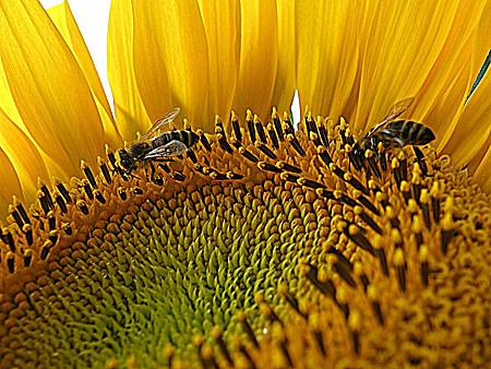 sunflower-1146382_960_720.jpg